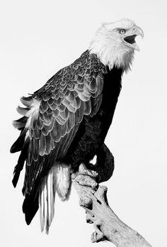 ( Bald Eagle)  American Pride  by billharrison