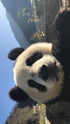 ca ke ❤️ Cute Panda Wallpaper, Bear Wallpaper, Animal Wallpaper, Panda Wallpaper Iphone, Cute Baby Animals, Animals And Pets, Funny Animals, Wild Animals, Photo Panda