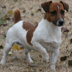 Shorty Jack Russell Terrier male, shory legged jack russell terrier