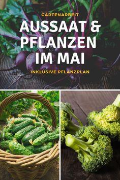 Was kann man im Mai noch säen? Nach den Eisheiligen Mitte Mai pflanzt man bevorzugt Tomaten, Zucchini, Mangold, Kürbis, Gurken, Paprika oder auch Spanien. Da Bohnen besonders kälteempfindlich sind, sät man sie ebenfalls erst ab Mitte Mai ins Gemüsebeet. Zum Pflanzplan: #aussaat #pflanzplan #kalender #mai #monat #eisheiligen #garten #garta #frost #gurken #mangold #zuchhini #tomaten #paprika #spinat #tipps #ideen #selbstversorger #gartenarbeit Cabbage, Herbs, Monat, Vegetables, Zucchini, Food, Beans, Red Peppers, Green Lawn