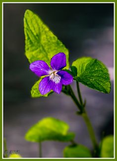 Metsäorvokki Rehevässä lehtomaassa kasvaa mieluiten. Herttamaiset lehdet ja siniset kukat.