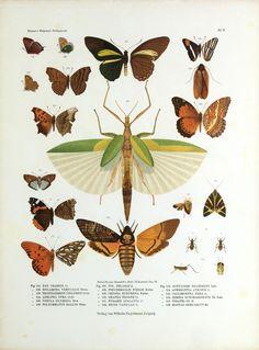 Tropidoderus childreni et al. Betrachtungen uber die Farbenpracht der Insekten. Leipzig,Wilhelm Engelmann,1897. Biodiversitylibrary. Biodivlibrary. BHL. Biodiversity Heritage Library