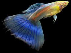 Sky Blue 'Albino' Guppy Fish