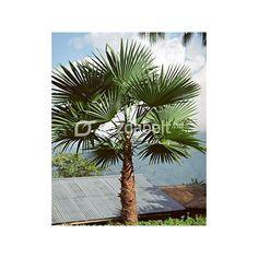 Kenderpálma (Trachycarpus latisectus) 5 szem | Gazdabolt.hu
