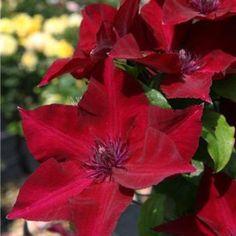 Clematis Plants, Clematis Vine, Garden Plants, Clematis Varieties, House Plants, Fruit Garden, Red Flowers, Beautiful Flowers, Monrovia Nursery