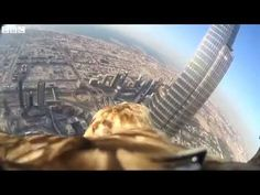Eagle ''Darshan'' with camera flies from Dubai skyscraper: An eagle with a small camera on its back has flown from the top of the world's tallest building, the Burj Khalifa skyscraper in Dubai. : Video from the imperial eagle, Darshan, was live-streamed as it swooped 829.8 metres to its trainer on the ground. The organisers, Freedom Conservation, claim it is the highest-ever recorded bird flight from a man-made structure.  The event was staged to highlight the plight of the endangered bird of prey. #Endangered_Species #Eagle_Cam
