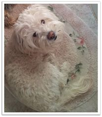 MISSING...Alhambra,CA ( 91803 ) male Maltese/Poodle mix Imakutie924490@aol.com
