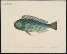 Hemipteronotus pentadactylus (punctulatus) [= Novacula pentadactylus Valenciennes in C, 1840] | Flickr - Photo Sharing!