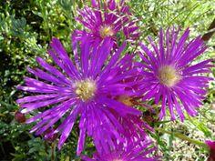 Lampranthus. Un poco más | Cuidar de tus plantas es facilisimo.com