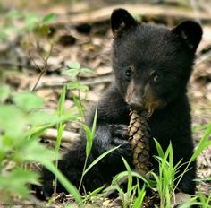 This is still my favorite image from when I first started photography in I… In 2015, Bear Cubs, My Favorite Image, Black Bear, Wildlife Photography, Beautiful Creatures, Dog Cat, Cats, Cubs