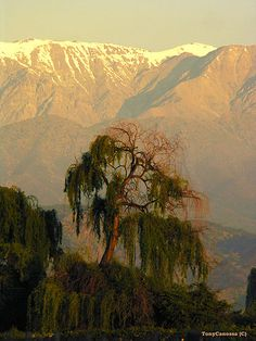 The weeping willow out our back window in Paine