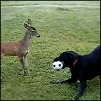 Dog and Baby Deer Play With a Ball in Back Yard - Amazing Beautiful Video