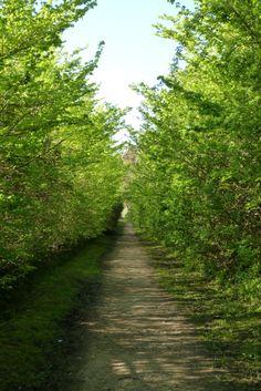 A green tunnel walk in Newtown, Isle Of Wight.