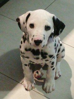 Ranger the Dalmatian puppy