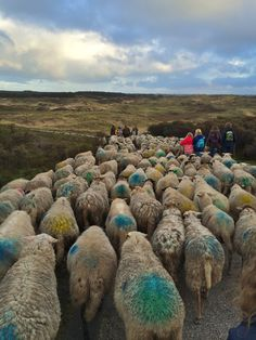 Kudde schapen verhuizen.