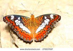 LEPIDOPTERA Fotos, imagens e fotografias Stock   Shutterstock