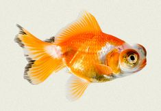 Butterfly Telescope Fantail Fancy Goldfish | Tropicali