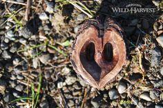 Oregon's Wild Harvest Heart Nut #organic #oregon #herb