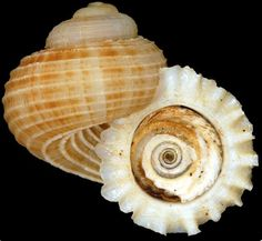 Shell with operculum, a plate that closes the opening of the shell when the animal is retracted.