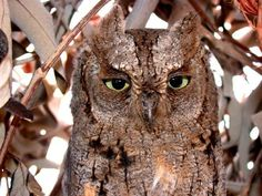 African Scops-owl (Otus senegalensis) day roosting in a hut Owl Species, Nocturnal Birds, World Birds, Owl Photos, Beautiful Owl, Cute Owl, Cute Baby Animals, Bird Feathers, Beautiful Creatures