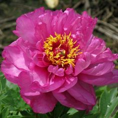 Hollingsworth Peonies - First Arrival