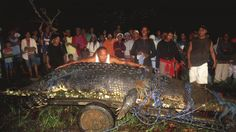 Lolong the crocodile measures 20.24 feet and weighs more than a ton. Guinness World Records declared the giant, blamed for deadly attacks before it was captured last September, the largest saltwater crocodile in captivity in the world.