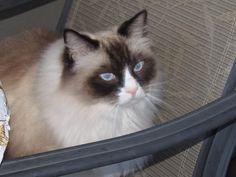 Feline Chylothorax is a devastating and expensive desease to diagnose and fight and rare and causes are often unknown or Ideopathic/Please get Cay Health Ins Tru Panion is great/I lost my best friend Bo to this at 4yrs old.he needed a 10,000 dollar Surgury stat ,We now have Pet Health for our remaining Ragdoll Dean/I live every day with the guilt of not being able to save him due to cash/if I would have known then what I know now.my pet Ins is only 25 per month.We miss our Bo and so does his…