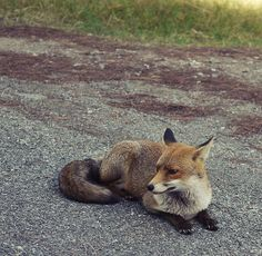 Resting next to a speed bump on a road, & providing a great photo op  :-)   fox  red fox  Vulpes vulpes