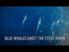 Sea Shepherd Global - Rare aerial footage of a Blue whale mother and calf captured by the crew of the Steve Irwin