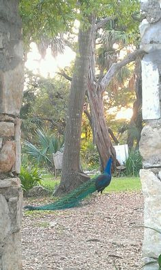 Peacocks @Mike Mayfield Park Austin TX