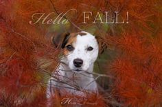 Happy Fall Y'all! #jackrussell #dog #photography #canon #fall #autumn #red
