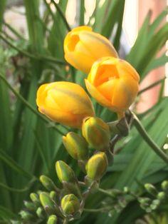 Fresia gialla