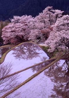 Cherry trees at Mitaki, Mie, Japan 三多気の桜 三重 #桜 #CherryBlossom