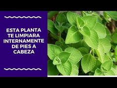 esta planta te limpiara internamente de pies a cabeza - YouTube