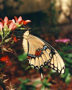 Giant Swallowtail on Kalanchoe c1992 / Tampa, Florida / June / Melanie Petridis