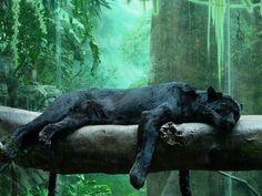Black Panther Jungle Cat