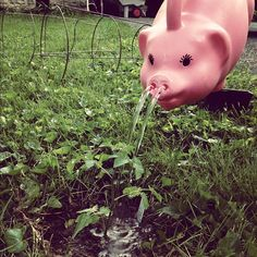 pigs make funny watering cans. Watering Cans, Pigs, Gardening, Adventure, Canning, Funny, How To Make, Animals, Animales