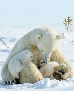 Mom and cubs | Photogtaphy by @JudithConning