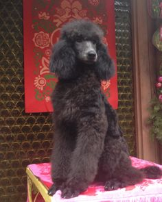 Another picture of our beautiful girl, Velvet, from Blue Willow Standard Poodles.