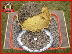 100+ Israeli Giant Seeded Sunflower Seeds * Giant seeds * GIGANTIC MONSTER #ISRAELIGIANTSEEDEDSUNFLOWERS