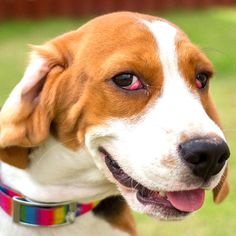 Cherry Eye in Dogs: Tips on Prevention and Treatment