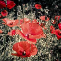 #poppies #poppy #papaveri #macro #nofilter #ninfa #oasidininfa #giardinidininfa #garden #italy #flowers #red #instaitaly #instadaily #instagood #photoflowers #nature #naturepics #travel #travelgram #instatravel #instaflowers #spring #summer #instanature
