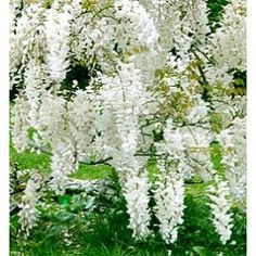 LIMITED SUPPLY Wisteria   Japanese  White $14.95+6.55 ship. Not very good reviews. Rebloomer and Zones 4 okay.