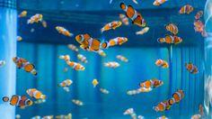 A school of clownfish swim inside an aquarium at SeaBase at Epcot