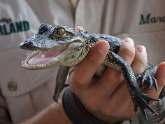have a crazy obsession with alligators! wish they stayed small, i'd get this little guy in a heartbeat!!
