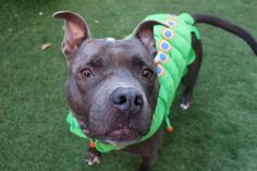 RETURN STRAY! SAFE 3/2017 SUPER URGENT Manhattan Center HANK – 10234 (ALT ID – A1106247) **RETURNED 10/19/17** Intake Date: 10/19/17 Intake Type: Stray Medical Behavior: Green Sex: Neutered Age: 1 year Weight: 50 lbs Neutered male Scan negative for a microchip About 1 year and 7 months old http://nycdogs.urgentpodr.org/hank-a1106247/