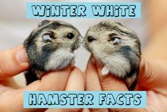 Boy Hamster Names - 150 Awesome Ideas For Male Hamster Names. Including Good, Cute, Cool and Unique Names. Perfect For Syrians or Dwarf Hamster Breeds. Robo Dwarf Hamsters, Robo Hamster, Funny Hamsters, Hamster Care, Hamster Stuff, Guinea Pig Toys, Guinea Pigs, Hamster Names Boy, Winter White Hamster