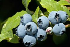 Duke crops slightly later than Earliblue and before Chandler. It is a vigorous plant with big crops of medium sized, firm fruit that store well for a blueberry.
