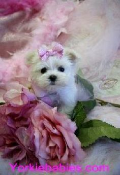the most beautiful flower: maltese puppies!