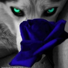 Pinned by sherry decker Wolf Images, Wolf Pictures, Cute Wolf Drawings, Fantasy Wolf, Wolf Stuff, Wolf Spirit Animal, Raven Art, Wolf Quotes, Wolf Love